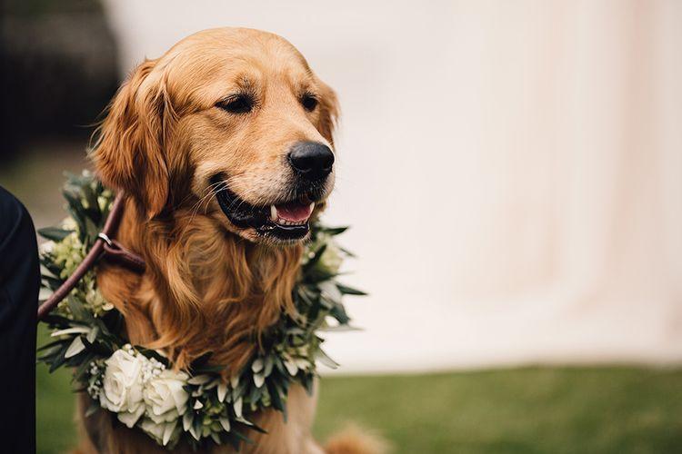 Golden Retriever with Floral Collar