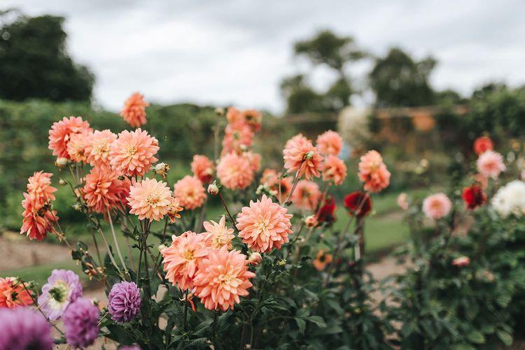 Country Garden Dahlia Flowers