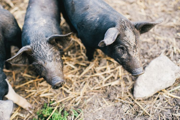 Muddy Piggies At Grittenham Barn