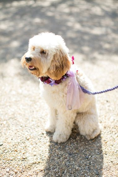 Cockapoo Ring Bearer Dog with Floral Collar