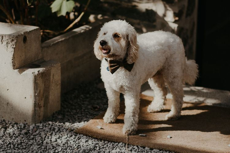 Pet dog in bow tie with beaded bridesmaid dresses