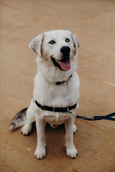 Pet Labrador