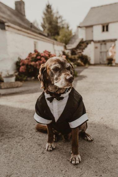 Pet dog in tuxedo at Hafod Farm wedding