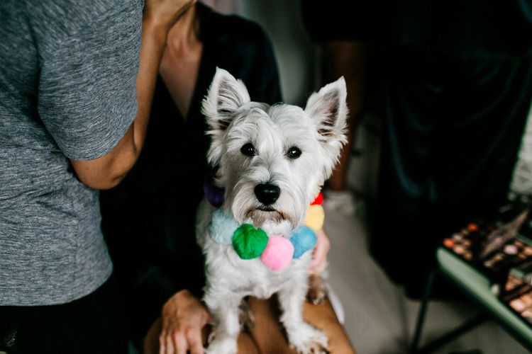 Pet West Highland White Terrier with Colourful Pom Pom Collar