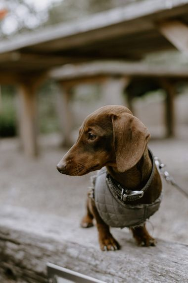 Pets at wedding with sausage dog wedding guest