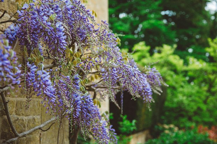 Wisteria at Foxhill Manor