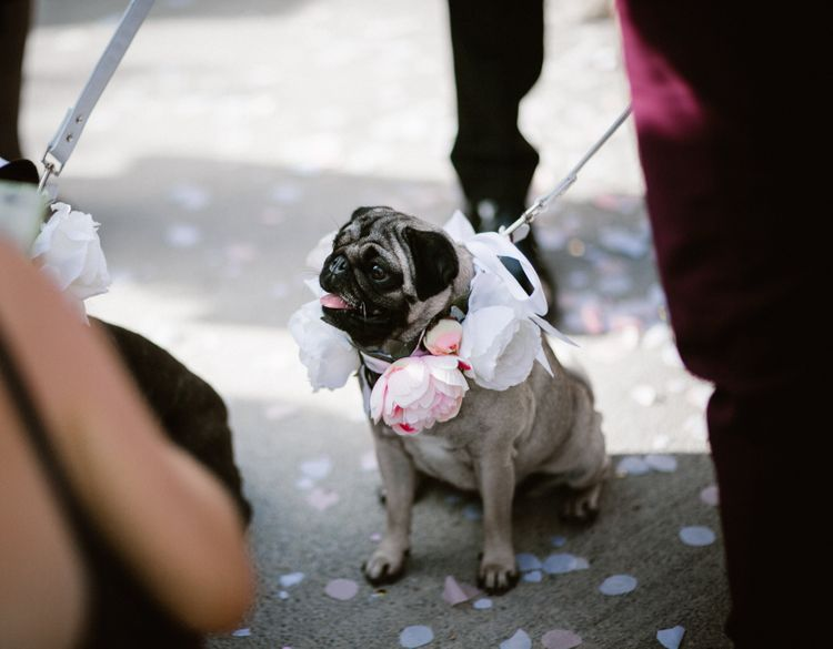 Pet Pugs in Floral Collar