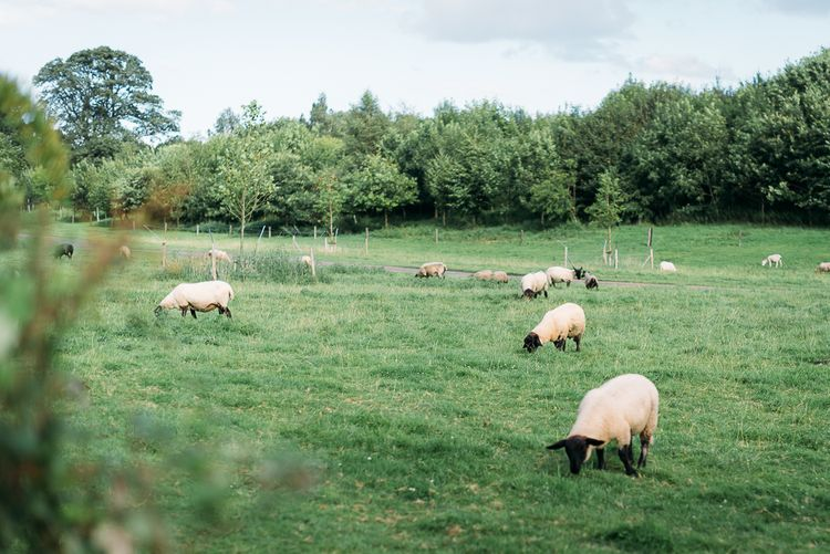 Sheep fields for a Country Wedding