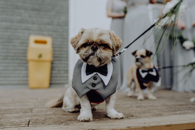 Pet Dog in Tuxedo Outfit