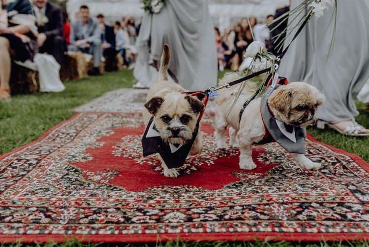 Pet Dogs in Tuxedo Outfits Walking Down the Aisle