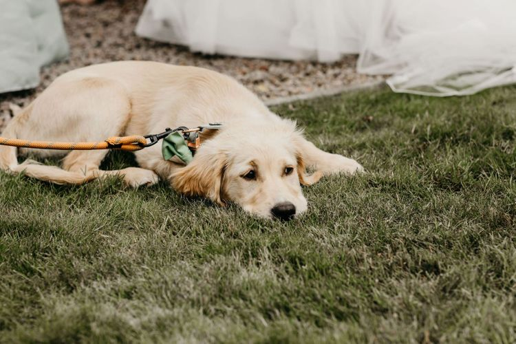 Pet golden Labrador with mint bow tie for socially distanced wedding with Korean wedding dress