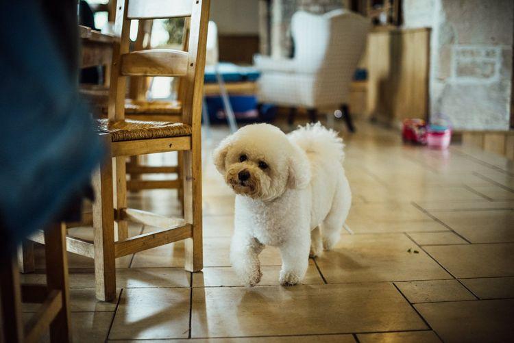 Bichon Frise Pet Dog