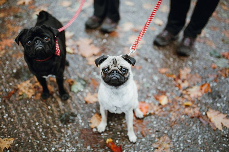 Pet Pugs Baxter and Bertie | Mariachi Band and Persian Rug Aisle for Autumn Wedding | Leah Lombardi Weddings