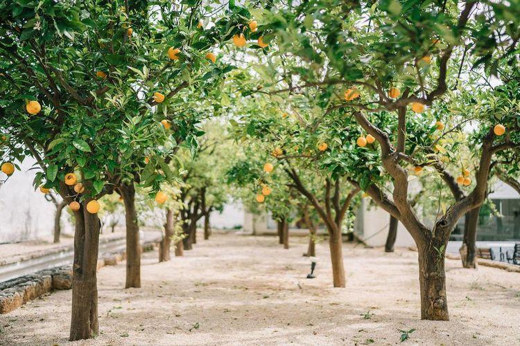 Orange Trees at Masseria Il Melograno, Puglia